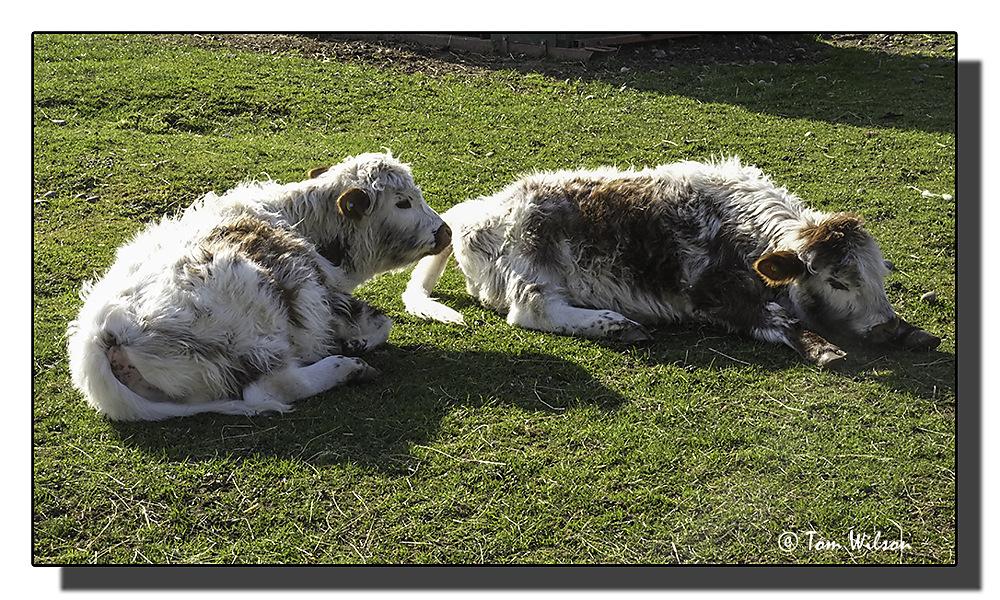 photoblog image English Longhorn Calves