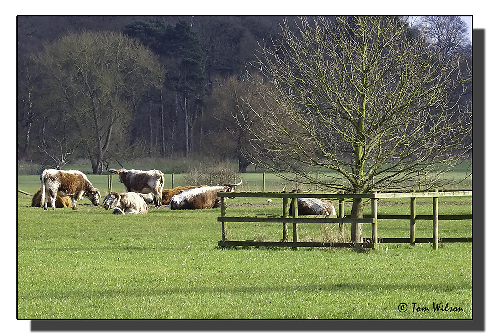 photoblog image English Longhorn Cattle on the Shugborough estate