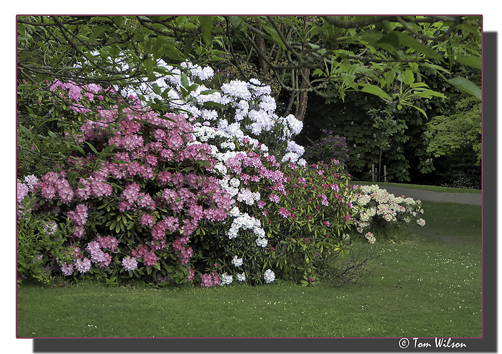 photoblog image Rhododendron Time