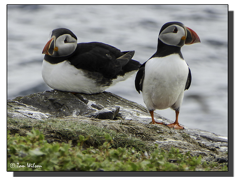 photoblog image Farne Islands Puffin Pair
