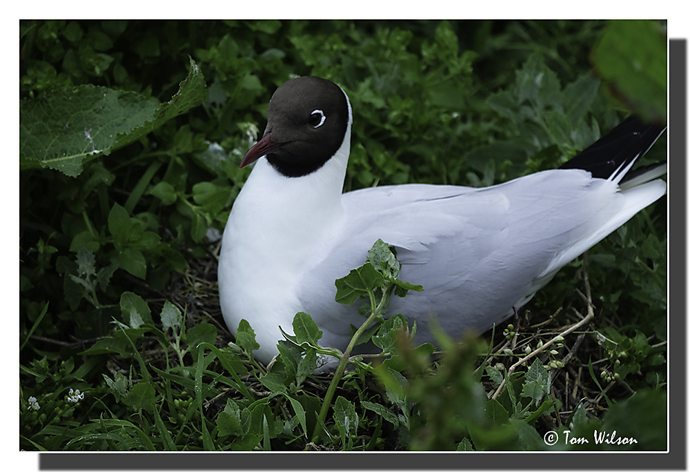 photoblog image Farne Islands Black-headed Gull