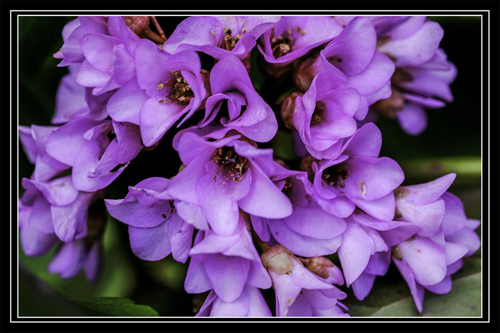 photoblog image Bergenia flowers