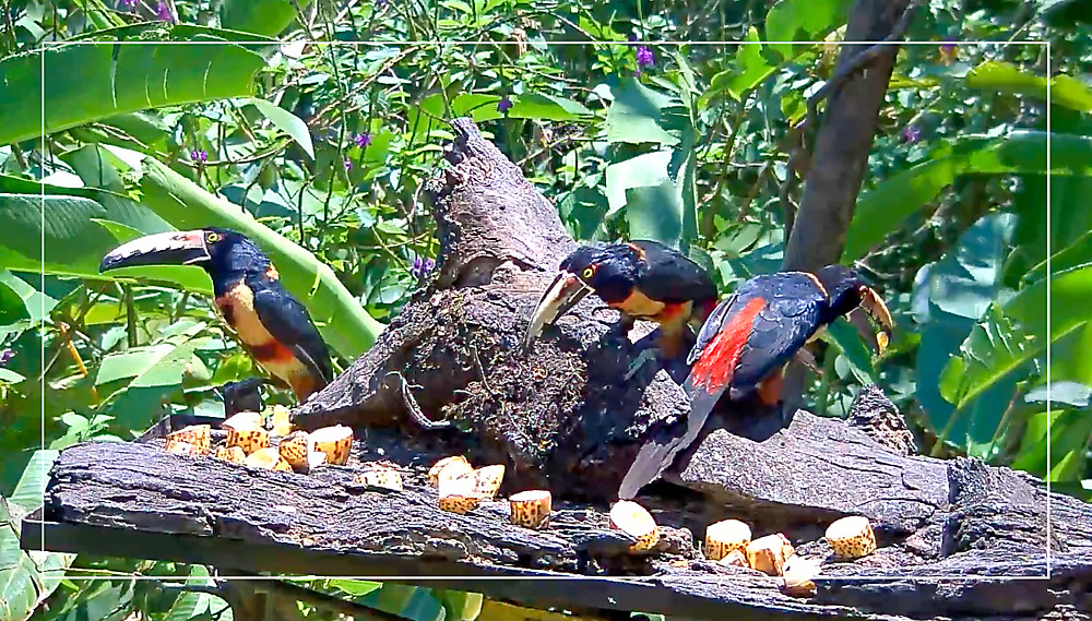 photoblog image Collared Aracari
