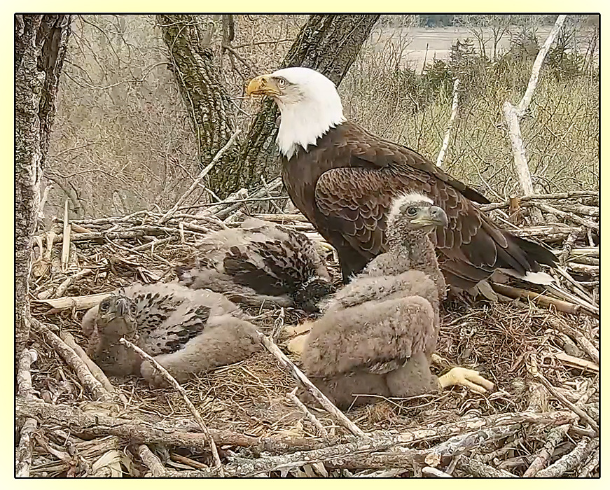 photoblog image Bald eagle and chicks